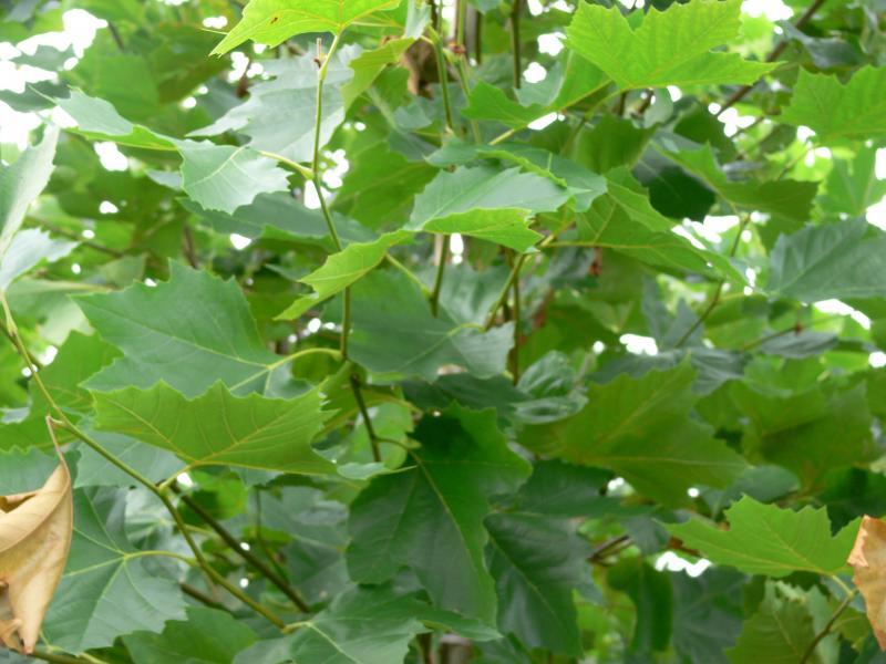 Platanus acerifolia 'Purpurea'