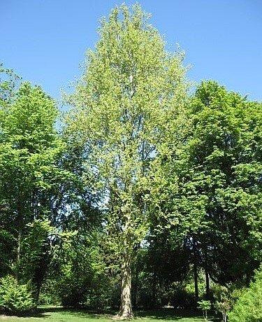 Platanus acerifolia 'Tremonia'