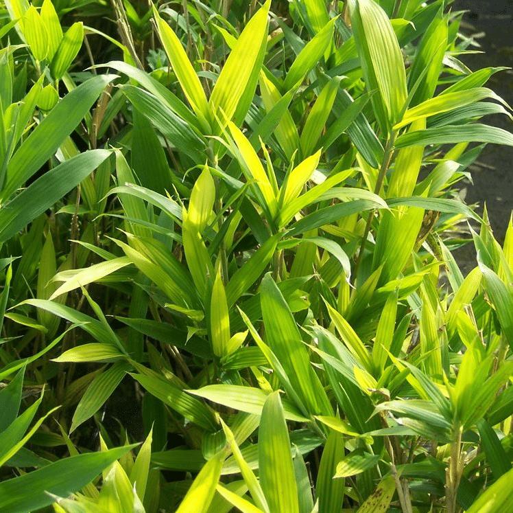 Pleioblastus distichus