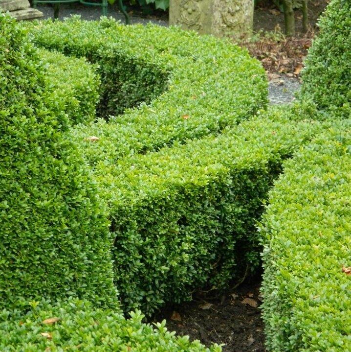 Pokon Buxus Groen-probleemoplosser