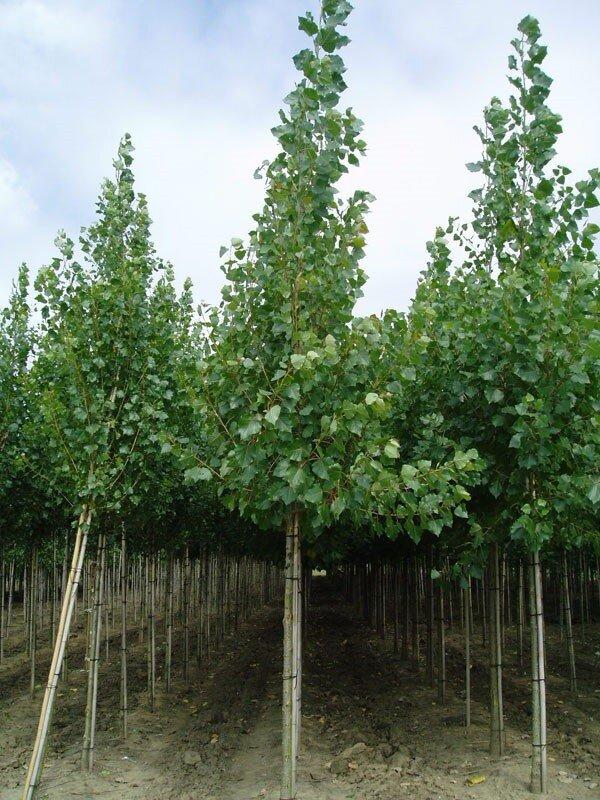 Populus canadensis 'Robusta'