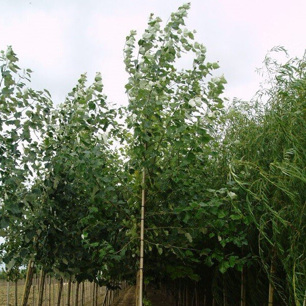 Populus canescens 'Enniger'