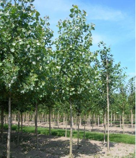 Populus canescens 'Witte van Haamstede'