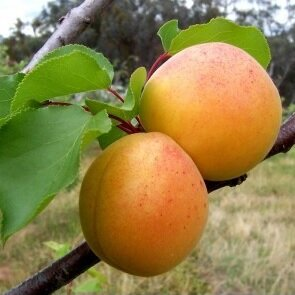 Abrikozenboom 'Bergeron leivorm laag (zelfbestuivend)