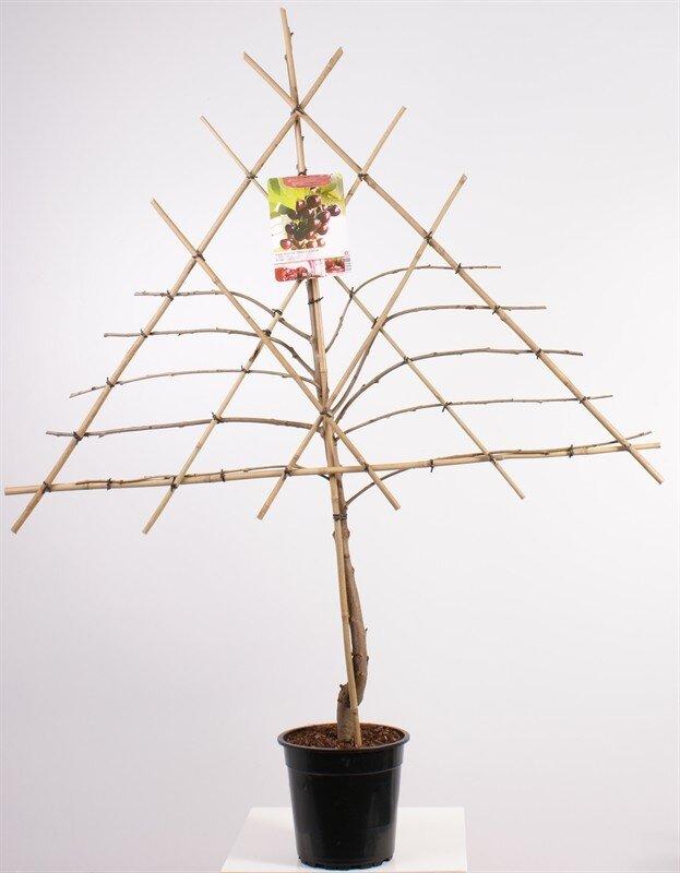 Prunus avium 'Burlat' leivorm