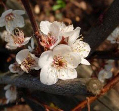Prunus avium 'Burlat' bloesem