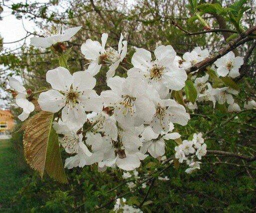 Kersenboom 'Hedelfinger' leivorm laag (kruisbestuivend)