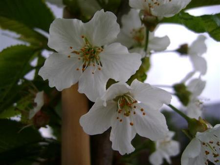 Kersenboom 'Kordia' halfstam