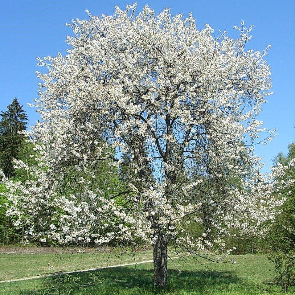 Prunus avium 'Landscape Bloom'