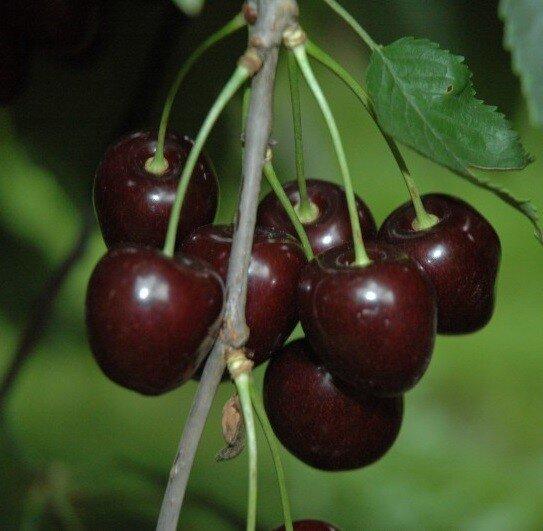 Prunus avium 'Stella' (laagstam)