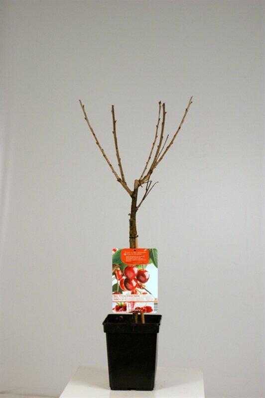 Kersenboom 'Stella' patio (zelfbestuivend)