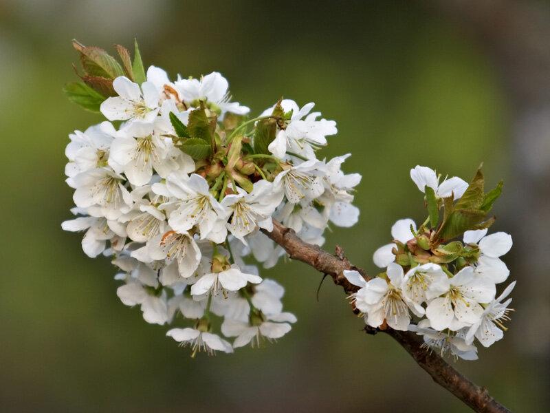 Prunus avium 'Stella'