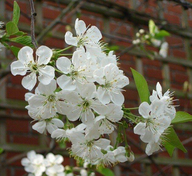 Zure kersenboom 'Morel' laagstam (zelfbestuivend)