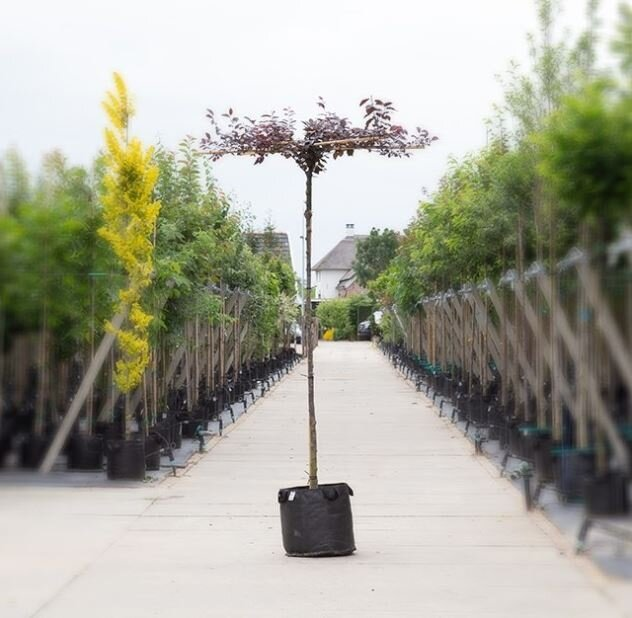 Prunus cerasifera 'Nigra' dakboom