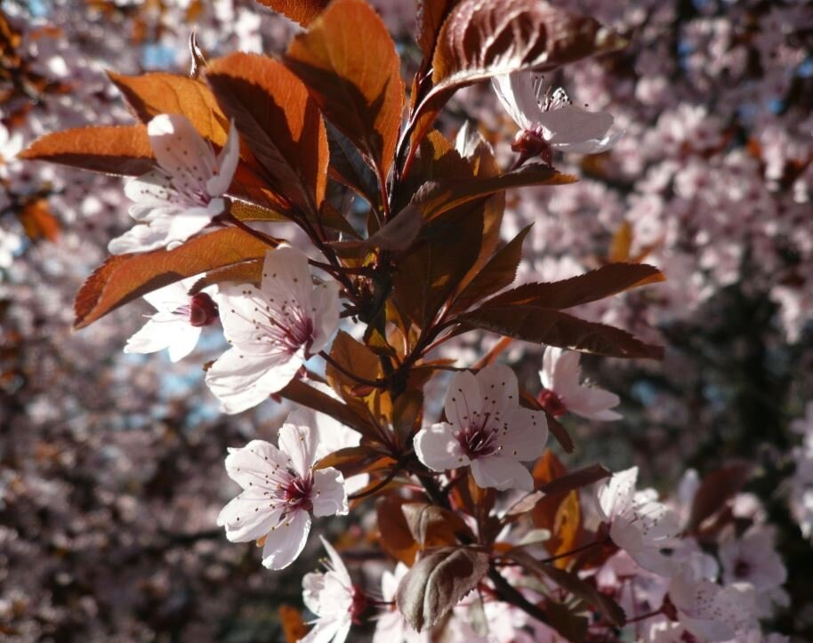 Prunus cerasifera 'Nigra' Kruisdak