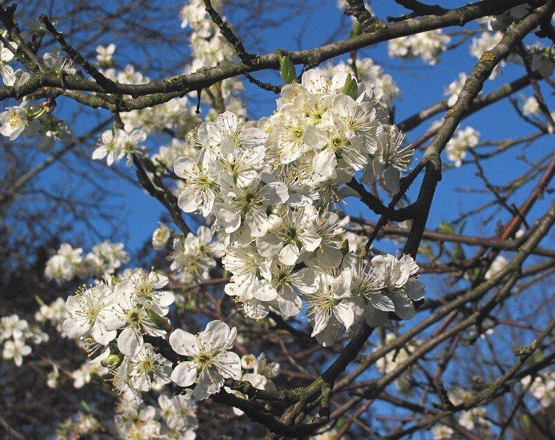 Prunus domestica 'Opal' bloesem