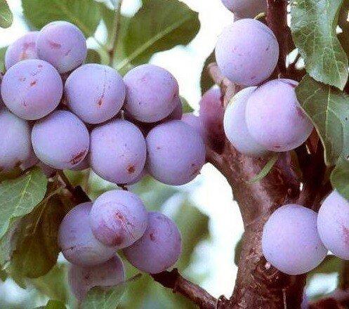 Pruimenboom 'Reine Claude d'Althan' leivorm laag (kruisbestuivend) pruimen