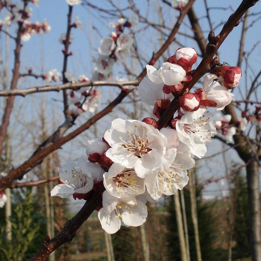 Prunus domestica 'Reine Claude d'Oullins' bloesem