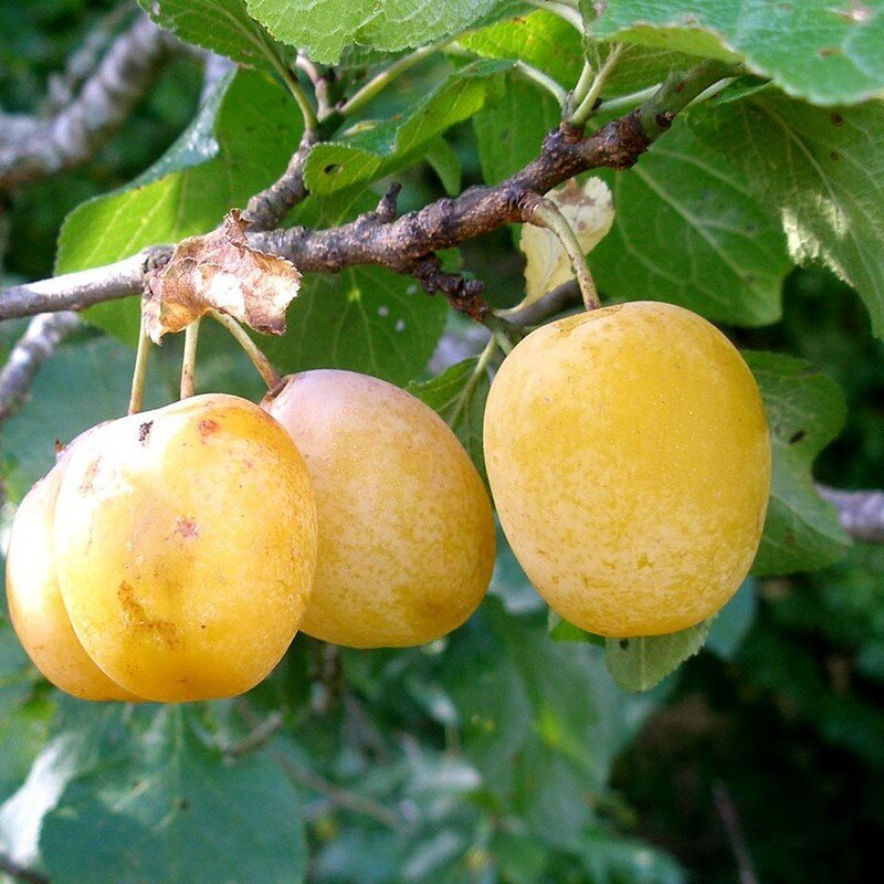 Prunus domestica 'Reine Claude d'Oullins' pruimen