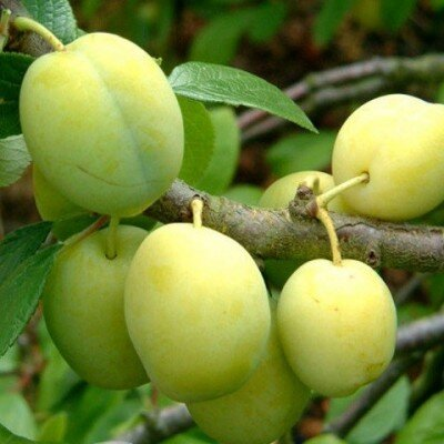 Prunus domestica 'Reine Claude d'Oullins'