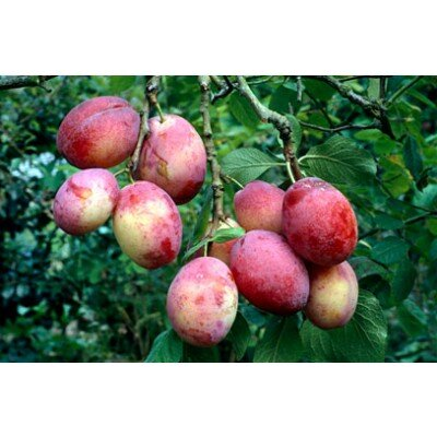 Prunus domestica 'Victoria' (hoogstam)