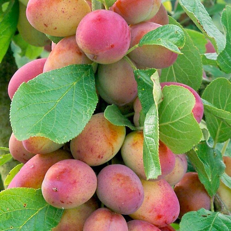 Prunus domestica 'Victoria' (laagstam)