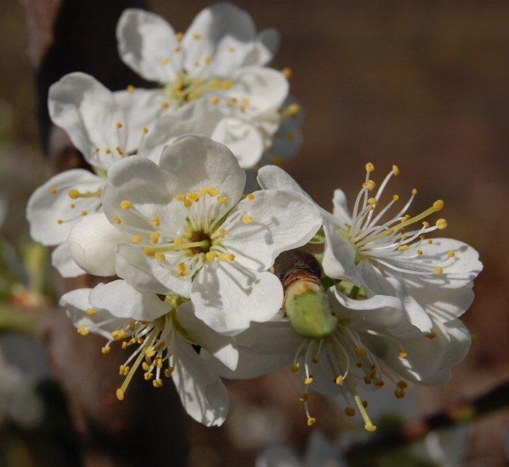 Kersenboom 'Victoria' hoogstam (zelfbestuivend) bloesem