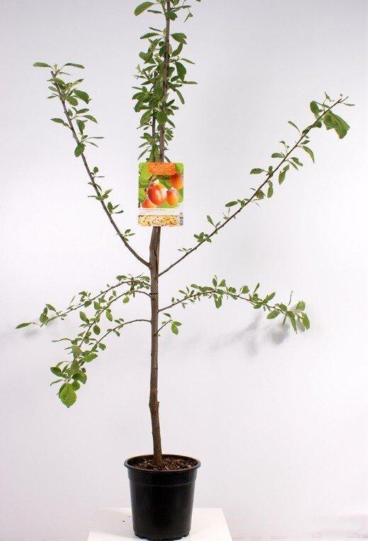 Pruimenboom 'Victoria' laagstam (zelfbestuivend)