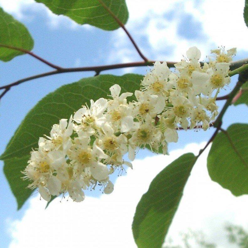 Prunus padus 'Watereri' blad