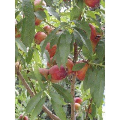 Prunus persica nucipersica 'Nectarine'