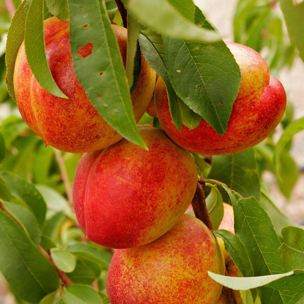Prunus persica nucipersica 'Nectarine' (leivorm)