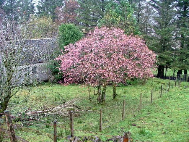 Prunus subhirtella 'Autumnalis Rosea' solitair