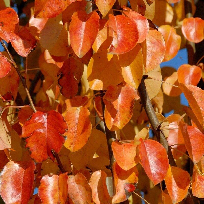 Pyrus communis  'Beech Hill' herfstverkleuring