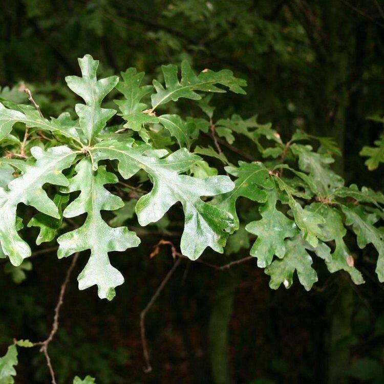 Quercus cerris blad