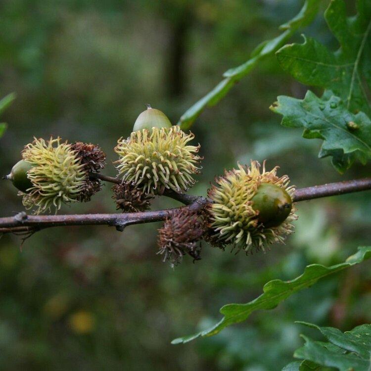 Quercus cerris eikels
