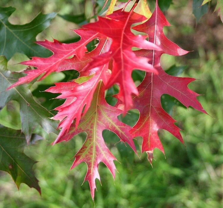 Quercus coccinea blad