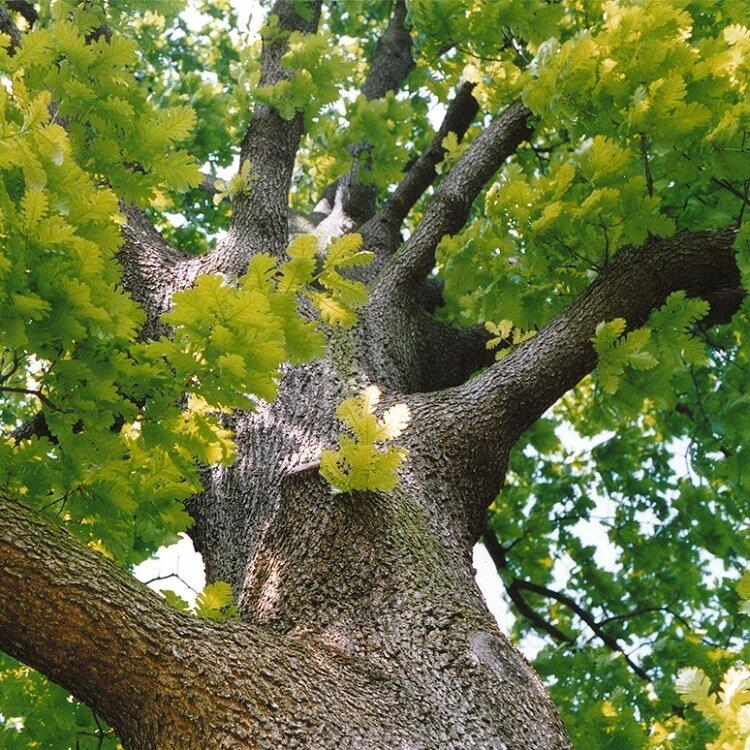 Quercus frainetto