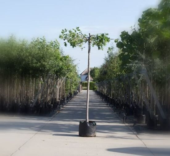 Quercus palustris dakboom