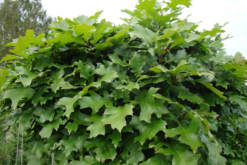 quercus palustris 39 green dwarf 39 kopen. Black Bedroom Furniture Sets. Home Design Ideas
