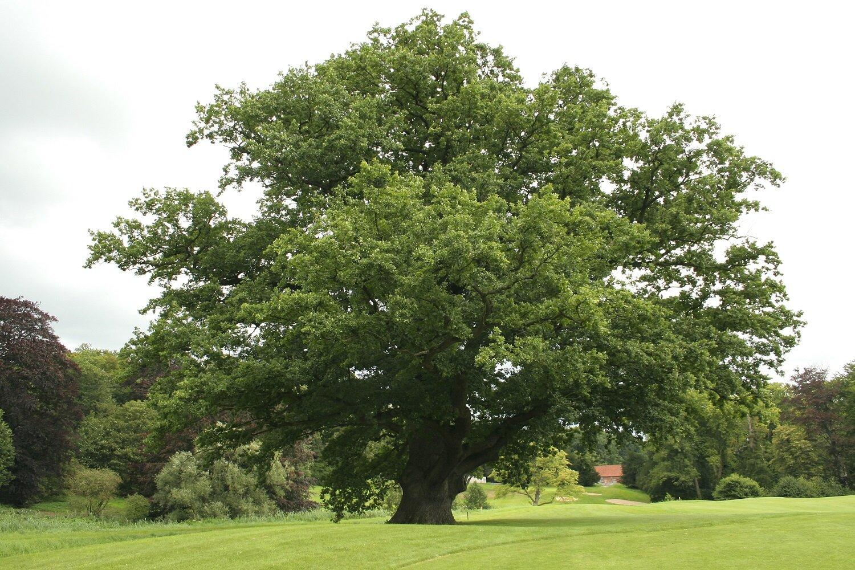 Quercus robur (Zomereik)