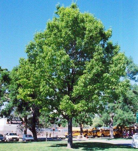 Quercus rubra (Amerikaanse eik)