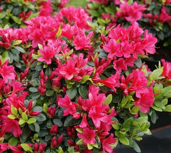 Azalea rood