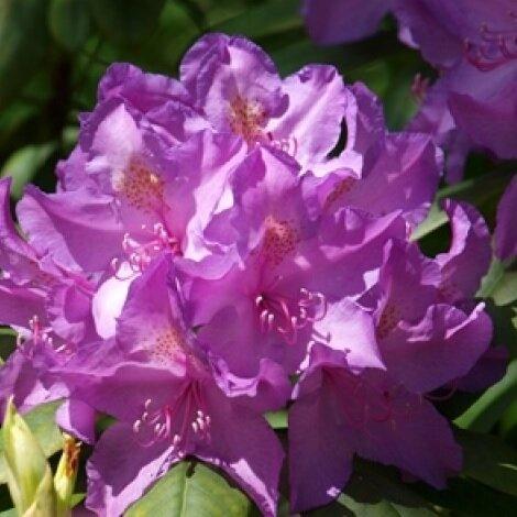 Rhododendron hybrid 'Catawbiense Grandiflorum'
