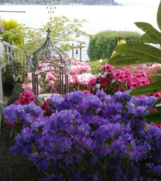 Azalea japonica 'Geisha Purple'