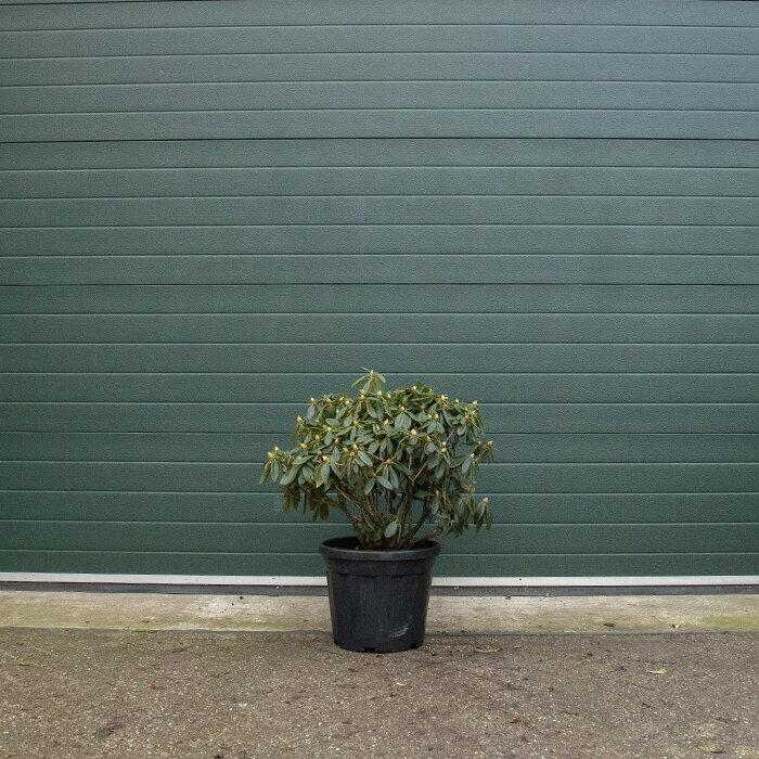 Rhododendron meerkleurig 60-70 cm