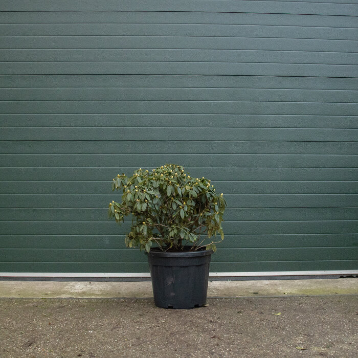 Rhododendron meerkleurig 70-80 cm
