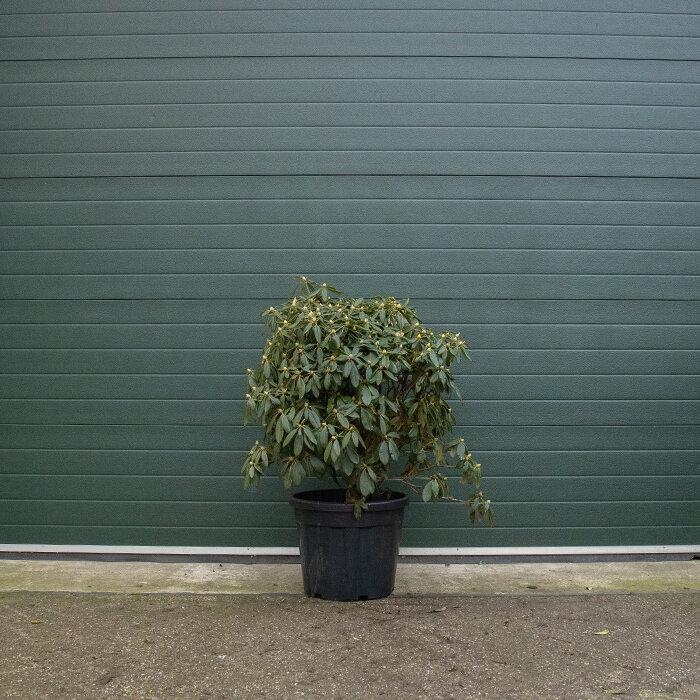 Rhododendron meerkleurig 80-90 cm