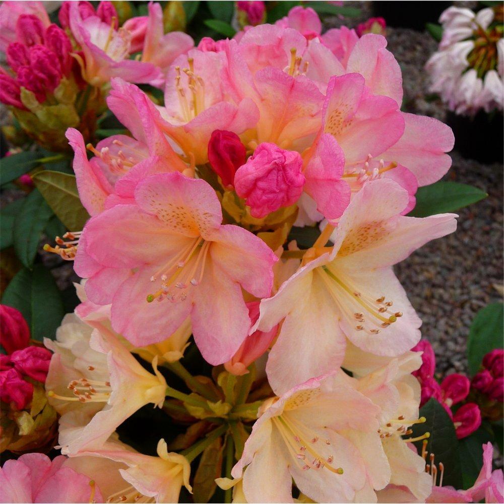 Rhododendron yakushimanum 'Percy Wiseman'