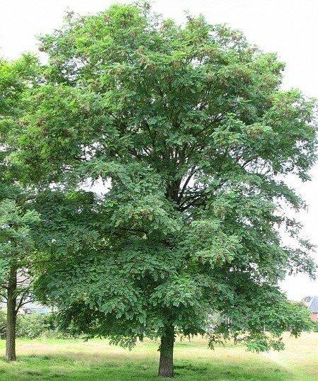 Robinia pseudoacacia 'Bessonniana'