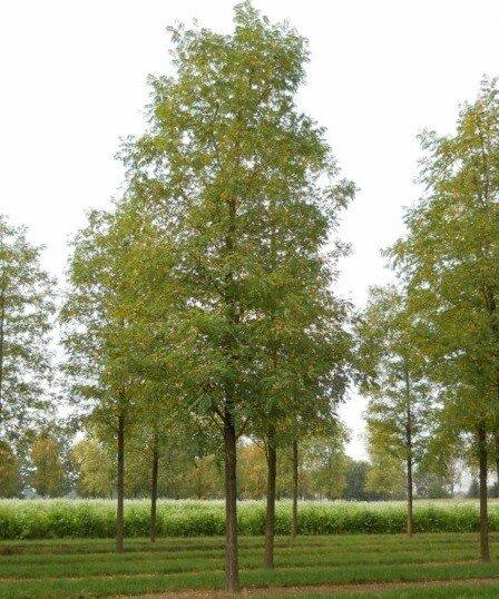 Robinia pseudoacacia 'Nyirségi'